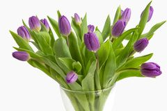 Beautiful light purple tulips with leaves isolated on white background. Spring flowers and plants. stock photography
