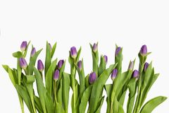Beautiful light purple tulips with leaves isolated on white background. Spring flowers and plants.Holiday backgrounds. Holiday backgrounds stock image