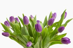 Beautiful light purple tulips with leaves isolated on white background. Spring flowers and plants.Holiday backgrounds. Holiday backgrounds royalty free stock image