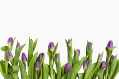 Beautiful light purple tulips with leaves isolated on white background. Spring flowers and plants. royalty free stock photos