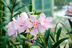 Nerium oleander flowers. The beautiful light red flowers of the Nerium oleander flower in a garden Stock Photos