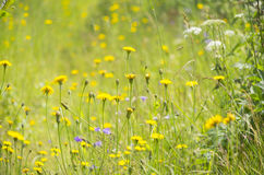 Beautiful light with yellow cosmos flowers field with shallow Royalty Free Stock Photo