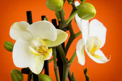 Beautiful light yellow orchid flowers with buds Stock Photos