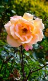 Beautiful light yellow rose flower in a rose garden,Ooty Stock Photos