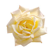 Beautiful light yellow rose in a garden Royalty Free Stock Photography