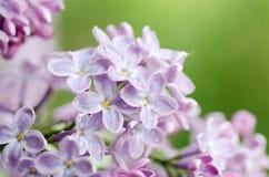 Beautiful lilac Stock Photography