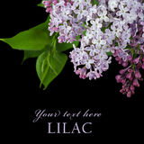 Beautiful lilac on black Stock Image