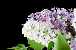 The beautiful lilac on black background Stock Image