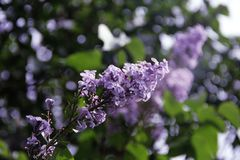 beautiful lilac blooms in the garden stock photo