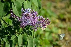 A beautiful lilac blossomed in the garden and the butterfly flies, spring. Odessa, Ukraine 2018 stock image