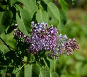 A beautiful lilac blossomed in the garden and the butterfly flies, spring. Odessa, Ukraine 2018 stock images