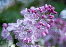 Beautiful lilac blosssom Stock Photo