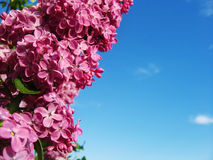 Beautiful lilac bouquet. And clear blue sky Stock Photography