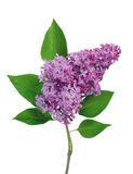 Beautiful Lilac branch isolated on white Stock Image