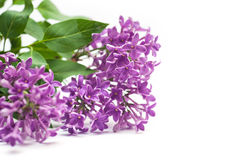 Beautiful lilac branch  on white background spring Royalty Free Stock Photo