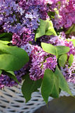 Beautiful lilac branches Royalty Free Stock Photos