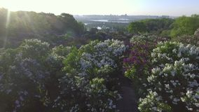 Beautiful lilac branches swaying in the wind. Aerial view. Kiev, Ukraine. Beautiful lilac branches swaying in the wind. Aerial view. Hryshko National Botanical stock footage