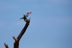 Beautiful lilac breasted roller sitting on a perch hunting for i Royalty Free Stock Photography