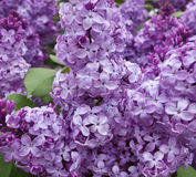 Beautiful lilac bush Royalty Free Stock Photos