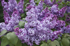 Beautiful lilac bush Stock Images