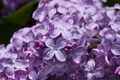 Beautiful lilac bush Royalty Free Stock Photo