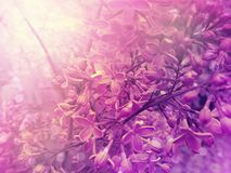 Beautiful lilac flower botany design closeup on a branch spring arrangement. Beautiful lilac flower on a branch blooming spring arrangement closeup botany design royalty free stock image