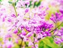 Beautiful lilac flower botany closeup on a branch spring arrangement. Beautiful lilac flower on a branch blooming spring arrangement closeup botany stock photography