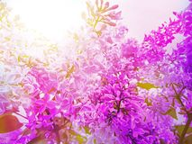Beautiful lilac flower color design on a branch spring arrangement. Beautiful lilac flower on a branch blooming spring botany design color royalty free stock photo