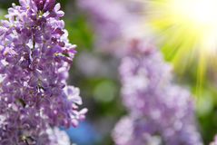Beautiful lilac flowers Royalty Free Stock Images