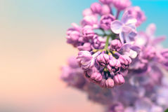 Beautiful lilac flowers Stock Images