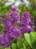 Beautiful Lilac Flowers Royalty Free Stock Photos