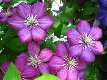 Beautiful lilac flowers of clematis Royalty Free Stock Photos