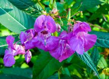 Beautiful lilac flowers of forest balsam in the middle of summer royalty free stock photo