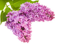 Beautiful lilac flowers Royalty Free Stock Photography