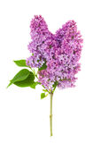Beautiful lilac flowers Stock Image