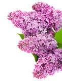 Beautiful lilac flowers Royalty Free Stock Image