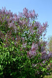 Beautiful lilac flowers. Morning in park when lilacs bloomed. Spring has arrived green light and heat. Popcorn smile appeared spontaneously in the sun. Young stock image