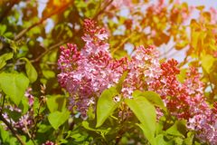 Beautiful lilac flowers with sunlight. Fresh spring view Royalty Free Stock Photo