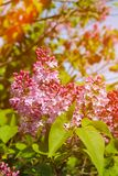 Beautiful lilac flowers with sunlight. Spring view Royalty Free Stock Images