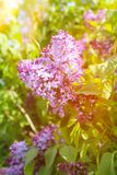 Beautiful lilac flowers with sunlight. Fresh spring view Stock Photography