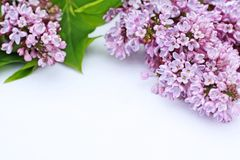 Beautiful lilac flowers white background Stock Photo