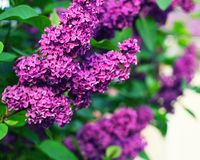 Beautiful lilac with green leaves in the summer garden stock images