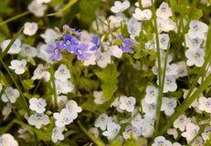 Beautiful lilac iris. Summer flower. Stock Photography