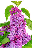 Beautiful   Lilac . Isolated over white . Stock Photos