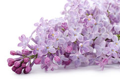 Beautiful lilac isolated on white royalty free stock photos
