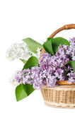 Beautiful lilac isolated on white Royalty Free Stock Photo
