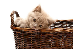 Beautiful Lilac Kitten In A Basket Royalty Free Stock Photo