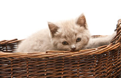 Beautiful Lilac Kitten In A Basket Stock Images