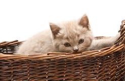 Beautiful Lilac Kitten In A Basket