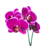 Beautiful lilac orchid with bandlet is isolated on white Royalty Free Stock Photos
